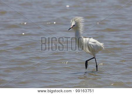 White Color Morph of Reddish Egret in Breeding Plumage
