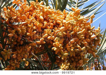 Palm tree with orange fruits