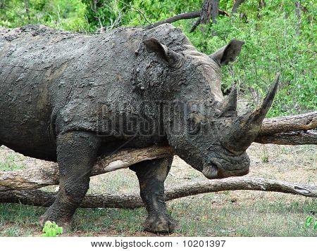 White Rhino's Scratch