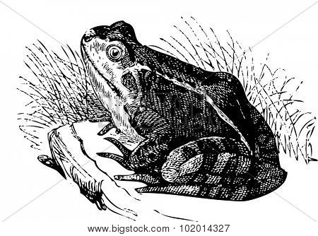 Water frog or Rana esculenta illustration, sitting on a rock and looking at us. Live trace version of an old engraving.From the Dictionnaire encyclopedique Trousset, Paris 1886-1891