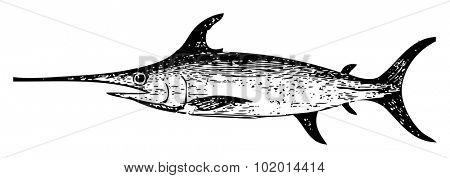 Old engraved illustration of a swordfish, isolated on white. Live traced. From the Trousset encyclopedia, Paris 1886 - 1891.