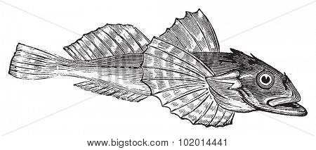 Bullhead fish or Acanthocottus Virginianus vintage engraving. Engraved illustration of a bull headed fish, isolated against a white background.