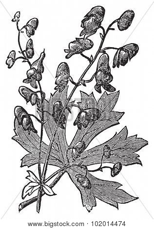 Monkshood or Aconitum napellus engraved illustration. Also known as aconite, Wolf's Bane, Fuzi, Monk's Blood, or Monk's Hood. Old vintage plant etching