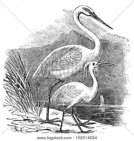 Engraving of a Great Egret (ardea alba) and Little Egret (ardea garzetta). Old vintage engraved illustration of two species of egret or heron.