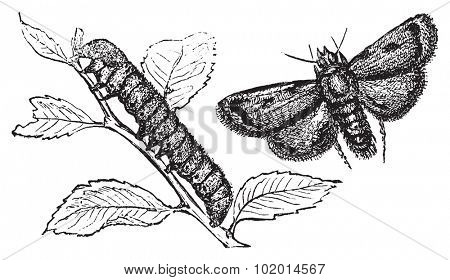Engraving of a turnip moth or agrotis segetum, to illustrate a agrotide affectation. Caterpillar and moth vintage engraved illustration.