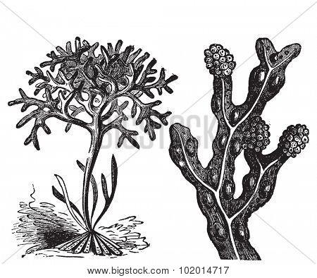 Chondrus crispus , irish moss or Fucus vesiculosus, bladderwrack engraving, old antique illustration of diffrents algaes. poster