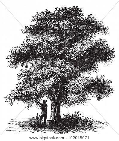 Artocarpe, Breadfruit or Artocarpus altilis old engraving. Old engraved illustration of of a man harversting a breadfruit tree.