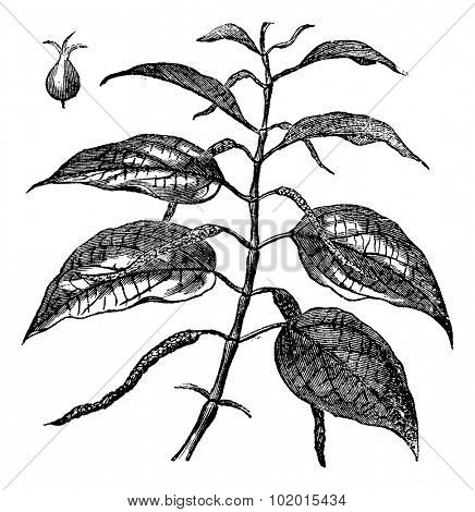 Betel also known as Piper betle, leaves, vintage engraved illustration of Betel leaves.