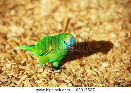 Emerald Green parrot on ocre sawdust