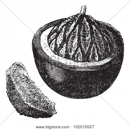 Brazil nut also known as Bertholletia excelsa, fruit, vintage engraved illustration of the Brazil nut.