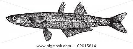 Atherina notata, Dotted Silverside, Atherinidae, Atherina boyeri or Big-scale sand smelt fish.Vintage engraving. Old engraved illustration of a Big-scale sand smelt fish.
