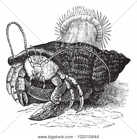 Hermit crab dragging Sea anemones, vintage engraved illustration of the Hermit crab dragging Sea anemones.