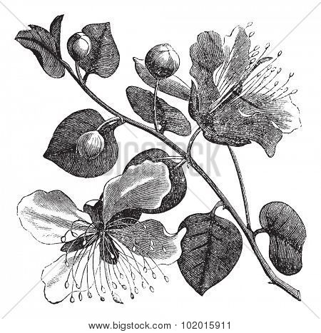 Common caper or Capparis spinosa vintage engraving. Old engraved illustration of caper plant and flower.