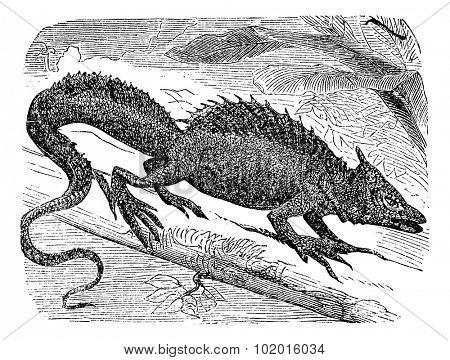 Basilisk or Basiliscus mitratus, vintage engraving. Common basilisk, also known as the Jesus Lizard, Jesus Christ Lizard, or Lagarto de Jesus Cristo.