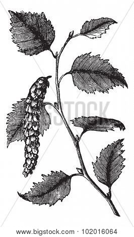 Betula papyrifera  also known as Paper Birch tree leaves vintage engraving. Old engraved illustration of Paper Birch, leaves isolated on a white background.