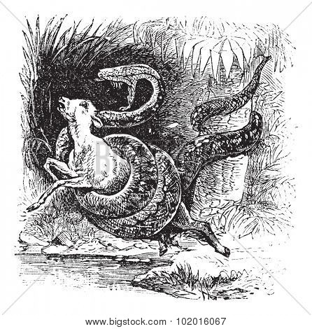 Boa constrictor snake vintage engraving. Old engraved illustration of Boa constrictor catching a calf.