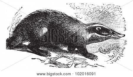 European Badger also known as Meles meles, vintage engraved illustration of European Badger. poster