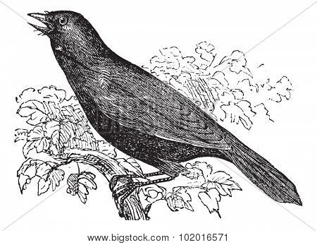 Giant Cowbird or Molothrus oryzivorus bird vintage engraving. Old engraved illustration of Giant Cowbird on a branch.  Trousset encyclopedia