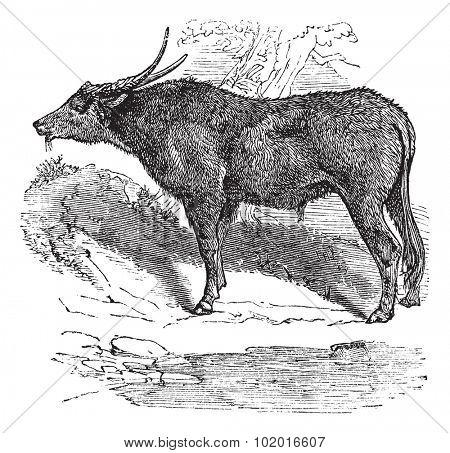 Water buffalo, domestic Asian water buffalo or Bubalus bubalis (Bos bubalis) vintage engraving. Old engraved illustration of a water buffalo eating grass. Trousset encyclopedia poster