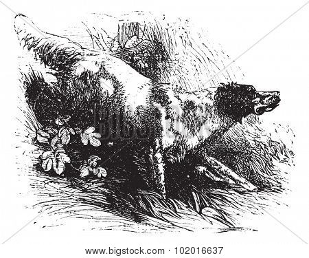 English Setter or Canis lupus familiaris, vintage engraving. Old engraved illustration of an English Setter. Trousset encyclopedia.