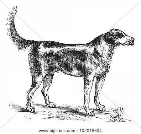Harrier or Canis lupus familiaris, vintage engraving. Old engraved illustration of a Harrier.