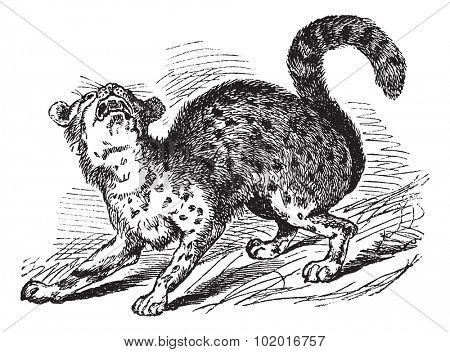 Oncilla or Tiger Cat or Leopardus tigrinus, vintage engraving. Old engraved illustration of an Oncilla. Trousset encyclopedia. poster