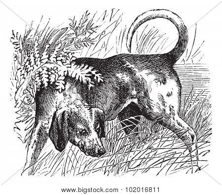 Beagle or Canis lupus familiaris, vintage engraving. Old engraved illustration of a Beagle. Trousset encyclopedia.