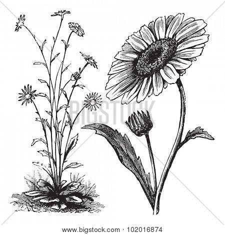 Chrysanthemum sp., vintage engraving. Old engraved illustration of a Chrysanthemum. Trousset Encyclopedia