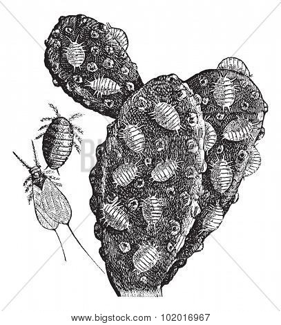 Mealybug or Pseudococcidae, vintage engraving. Old engraved illustration of a herd of Mealybugs feeding on a cactus (right), a female (top middle), and a male (bottom middle). Trousset Encyclopedia