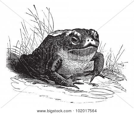 Common Toad or Bufo sp., vintage engraving. Old engraved illustration of a Common Toad. Trousset Encyclopedia