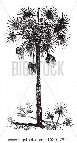 Palmetto or Cabbage Palm or Cabbage Palmetto or Palmetto Palm or Sabal Palm or Sabal palmetto, vintage engraving. Old engraved illustration of a Palmetto tree. Trousset Encyclopedia