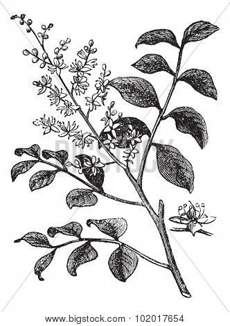 Diesel Tree or Kerosene Tree or Kupa'y or Cabismo or Copauva Cabimo or Copaifera sp., vintage engraving. Old engraved illustration of Diesel Tree branch showing flowers. Trousset Encyclopedia