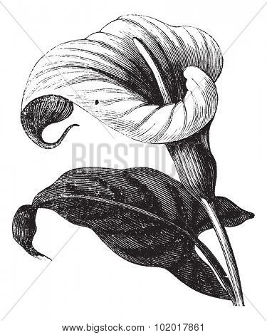 Zantedeschia aethiopica also known as Richardia Africana, flower, vintage engraved illustration of Zantedeschia aethiopica, flower, isolated against a white background. Trousset encyclopedia.