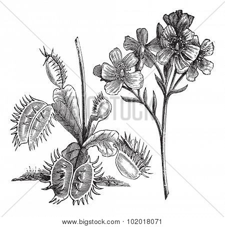 Venus Flytrap or Dionaea muscipula, vintage engraving. Old engraved illustration of a Venus Flytrap plant showing leaves (left) and flowers (right). Trousset Encyclopedia