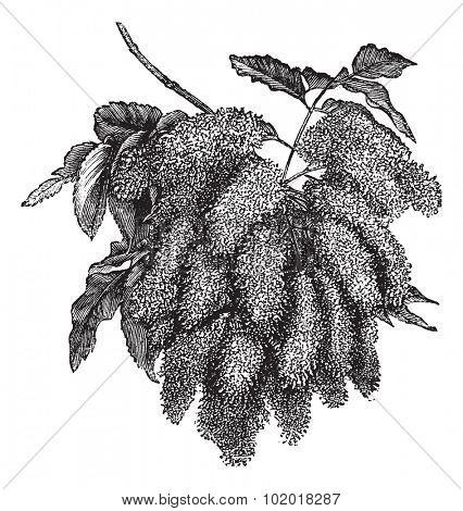 Fraxinus ornus or Flowering Ash or Manna Ash or South European Flowering Ash, vintage engraving. Old engraved illustration of Fraxinus ornus, isolated on a white background. Trousset Encyclopedia