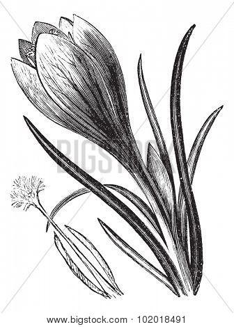 Crocus or Crocus sp., vintage engraving. Old engraved illustration of a Crocus flower. Trousset Encyclopedia.