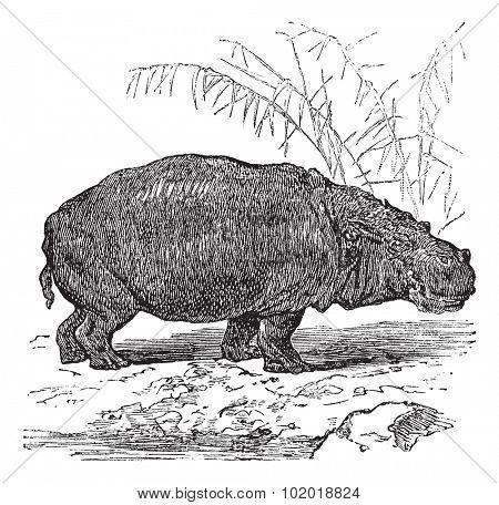 Hippopotamus or Hippopotamus amphibius or Hippo or Hippopotami, vintage engraving. Old engraved illustration of Hippopotamus, close to the water. Trousset Encyclopedia.