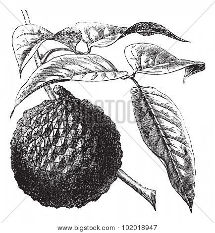Lychee or Litchi chinensis or Leechi or Litchi or Laichi or Lichu or Lizhi, vintage engraving. Old engraved illustration of Lychee, isolated on a white background. Trousset Encyclopedia