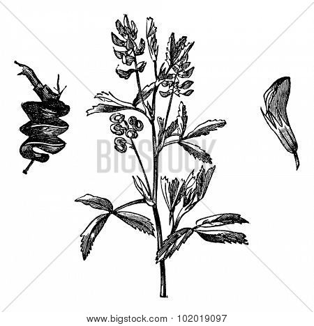 Alfalfa or Medicago Sativa or Lucerne or Lucerne Grass, vintage engraving. Old engraved illustration of Alfalfa isolated on a white background. Trousset Encyclopedia