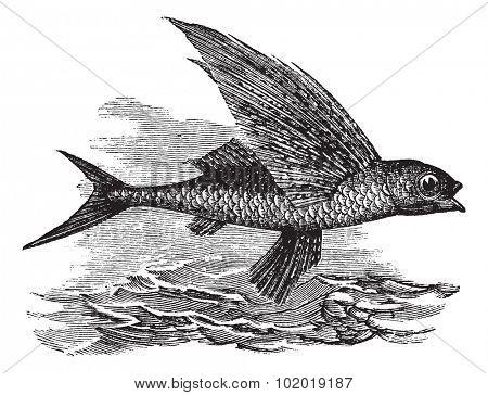 Flying Fish or Exocoetidae, vintage engraving. Old engraved illustration of a Flying Fish. Trousset Encyclopedia