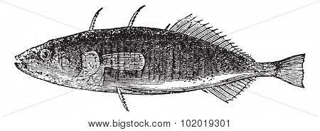 Three-spined Stickleback or Gasterosteus aculeatus, vintage engraving. Old engraved illustration of a Three-spined Stickleback. Trousset Encyclopedia