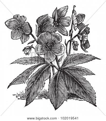 Black Hellebore or Christmas Rose or Helleborus niger, vintage engraving. Old engraved illustration of a Black Hellebore showing flowers.  Trousset encyclopedia (1886 - 1891)