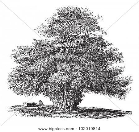 Yew tree or Taxus baccata or English Yew or European Yew or Darley Yew at St. Helens church in Darley, Derbyshire, England, during the 1890s, vintage engraving. Trousset encyclopedia (1886 - 1891)