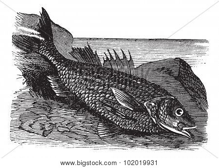 Labrax lines (labrax lineatus) vintage engraving. Old engraved illustration of a Labrax Lineatus fish.  Trousset encyclopedia (1886 - 1891).