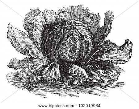 Lettuce (Lactuca sativa) vintage engraving. Old engraved illustration of lettuce isolated on white.  Trousset encyclopedia (1886 - 1891). poster