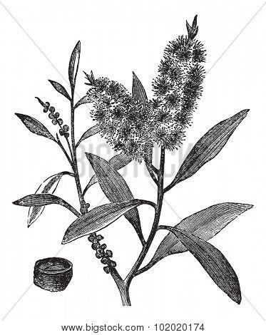 Tea Tree Oil has white wood (Melaleuca Leucadendron), vintage engraved illustration. Trousset encyclopedia (1886 - 1891).