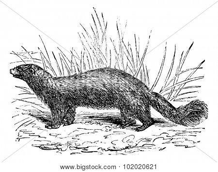Common skunk (Mephitis mephitica) or polecats vintage engraved illustration. Trousset encyclopedia (1886 - 1891).
