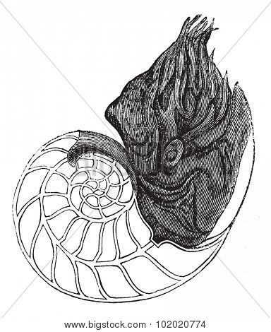Chambered Nautilus or Nautilus pompilius, showing chambers, vintage engraved illustration. Trousset encyclopedia (1886 - 1891).