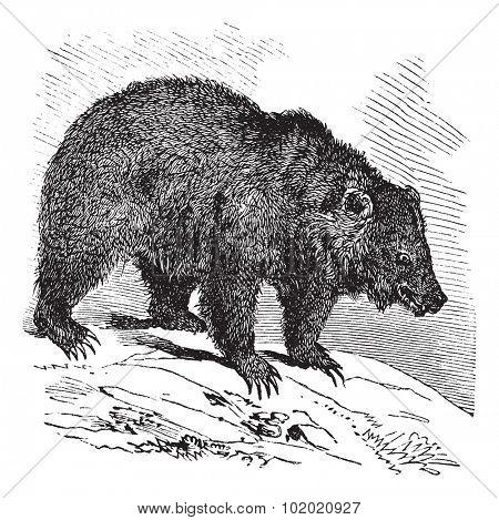 JACK Bear (Ursus horribilis), vintage engraved illustration.  Trousset encyclopedia (1886 - 1891).