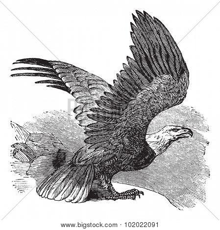 Bald Eagle (Haliaeetus leucocephalus), vintage engraved illustration. Bald eagle in flight. Trousset encyclopedia (1886 - 1891).